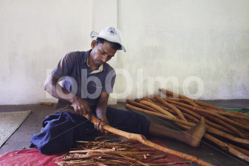 Abtrennen der Zimtinnenrinde (Sri Lanka, SOFA/BioFoods) - lobOlmo Fair-Trade-Fotoarchiv