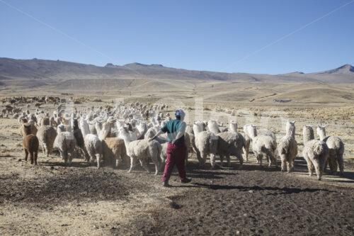 Alpaka-Hirte beim Hüten (Peru, CIAP) - lobOlmo Fair-Trade-Fotoarchiv