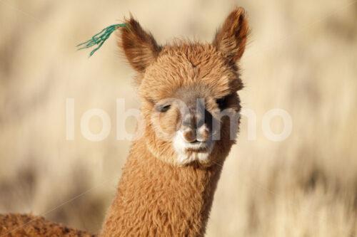 Alpaka (Peru, CIAP) - lobOlmo Fair-Trade-Fotoarchiv