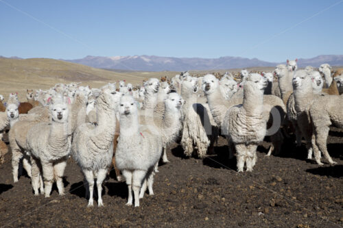 Alpaka-Pferch (Peru, CIAP) - lobOlmo Fair-Trade-Fotoarchiv