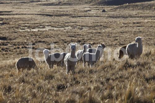Alpaka-Weide (Peru, CIAP) - lobOlmo Fair-Trade-Fotoarchiv