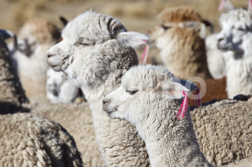 Alpakas (Peru, CIAP) - lobOlmo Fair-Trade-Fotoarchiv