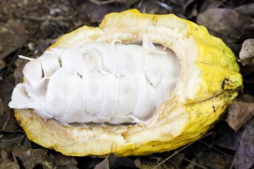 Aufgeschlagene Kakaofrucht (Bolivien, EL CEIBO) - lobOlmo Fair-Trade-Fotoarchiv