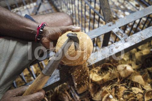 Aufschlagen einer geschälten Kokosnuss (Sri Lanka, MOPA/BioFoods) - lobOlmo Fair-Trade-Fotoarchiv