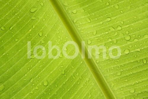 Bananenblatt (Ecuador, UROCAL) - lobOlmo Fair-Trade-Fotoarchiv