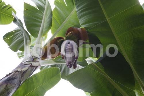 Bananenblüte (Ecuador, UROCAL) - lobOlmo Fair-Trade-Fotoarchiv