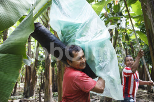 Bananenernte (Ecuador, UROCAL) - lobOlmo Fair-Trade-Fotoarchiv