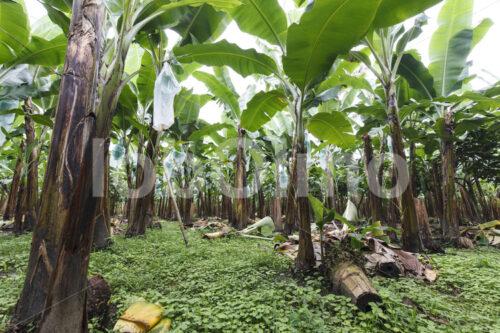 Bananenfeld (Ecuador, UROCAL) - lobOlmo Fair-Trade-Fotoarchiv