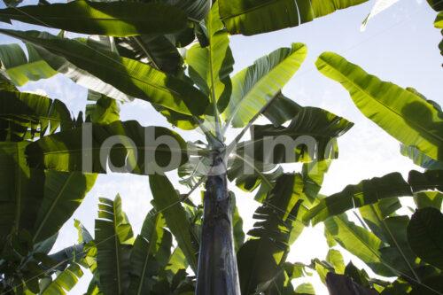Bananenstaude (Ecuador, UROCAL) - lobOlmo Fair-Trade-Fotoarchiv