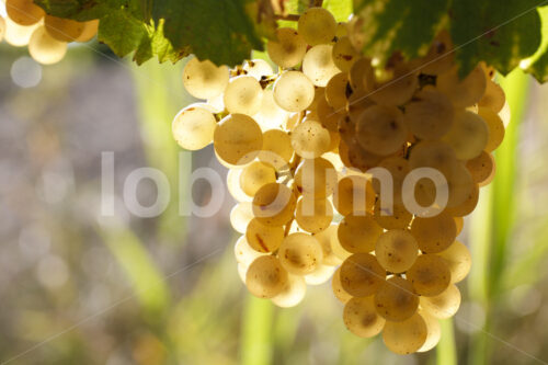 Chenin Blanc Trauben (Südafrika, Stellar Organics) - lobOlmo Fair-Trade-Fotoarchiv
