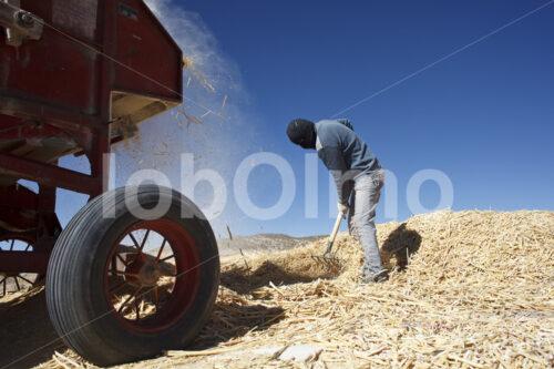 Dreschen geernteter Quinoapflanzen (Bolivien, ANAPQUI) - lobOlmo Fair-Trade-Fotoarchiv