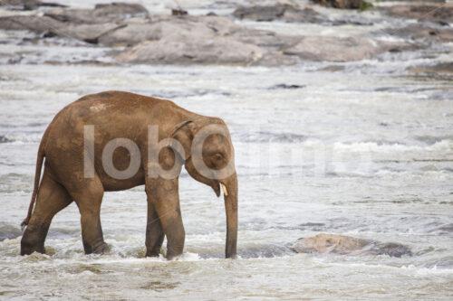 Elefant (Sri Lanka) - lobOlmo Fair-Trade-Fotoarchiv