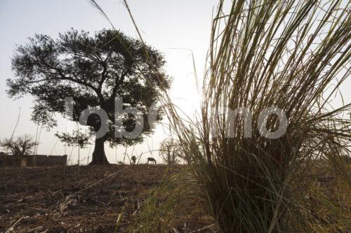 Elefantengras (Ghana, TradeAID) - lobOlmo Fair-Trade-Fotoarchiv