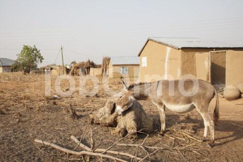 Esel einer Korbflechterinnenfamilie (Ghana, TradeAID) - lobOlmo Fair-Trade-Fotoarchiv