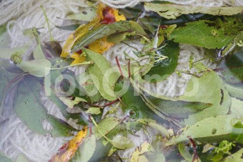 Färben von Schafwolle mit Blättern (Chile, Chol-Chol) - lobOlmo Fair-Trade-Fotoarchiv