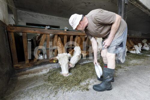 Füttern von Milchkühen (Deutschland, Molkerei BGD) - lobOlmo Fair-Trade-Fotoarchiv