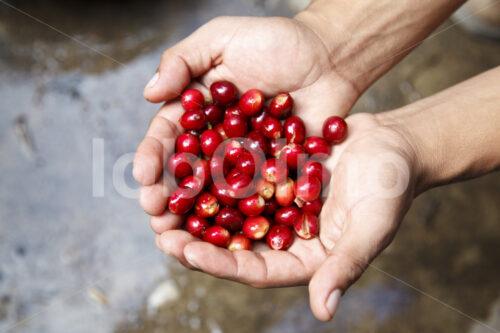 Geerntete Kaffeekirschen (Guatemala, GUAYA'B) - lobOlmo Fair-Trade-Fotoarchiv
