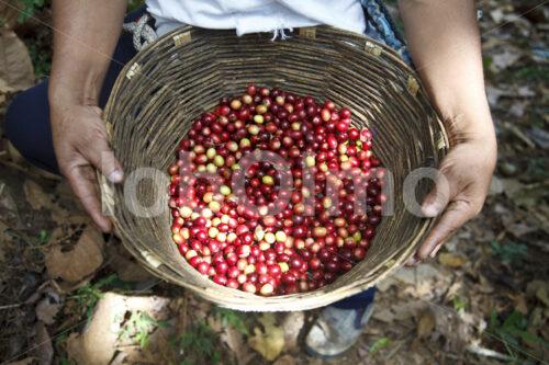 Geerntete Kaffeekirschen (Mexiko, UCOAAC) - lobOlmo Fair-Trade-Fotoarchiv