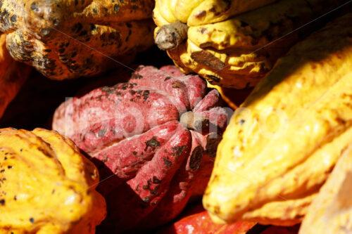 Geerntete Kakaofrüchte (Bolivien, EL CEIBO) - lobOlmo Fair-Trade-Fotoarchiv