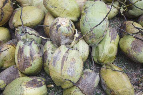 Geerntete Kokosnüsse (Sri Lanka, MOPA/BioFoods) - lobOlmo Fair-Trade-Fotoarchiv