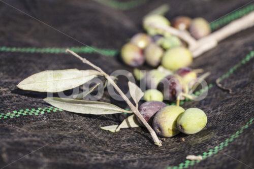 Geerntete Oliven (Palästina, CANAAN) - lobOlmo Fair-Trade-Fotoarchiv