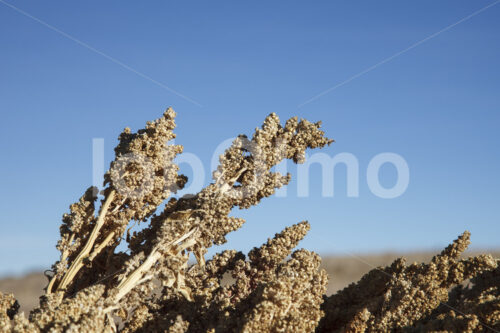 Geerntete Quinoapflanzen (Bolivien, ANAPQUI) - lobOlmo Fair-Trade-Fotoarchiv