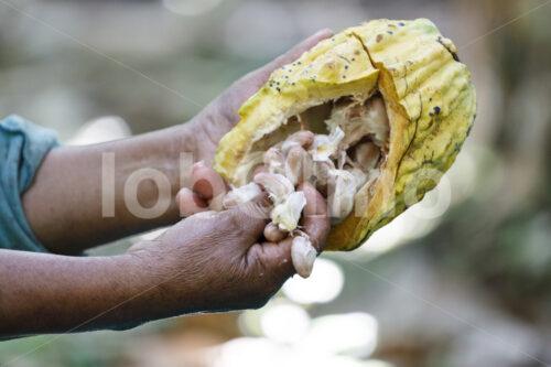 Herauspulen der Kakaobohnen (Bolivien, EL CEIBO) - lobOlmo Fair-Trade-Fotoarchiv