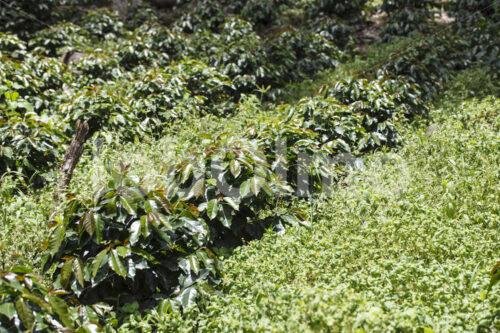 Kaffee-Pflanzenschule (Peru, COCLA) - lobOlmo Fair-Trade-Fotoarchiv