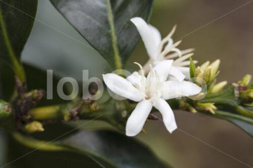 Kaffeeblüten (Peru, COCLA) - lobOlmo Fair-Trade-Fotoarchiv