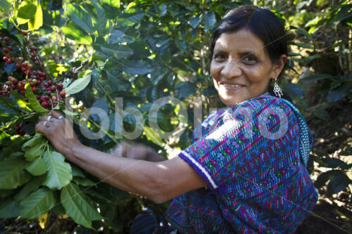 Kaffeeernte (Guatemala, GUAYA'B) - lobOlmo Fair-Trade-Fotoarchiv