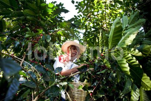 Kaffeeernte (Mexiko, UCOAAC) - lobOlmo Fair-Trade-Fotoarchiv