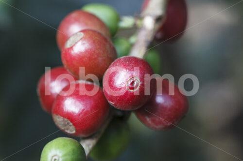 Kaffeekirschen (Peru, COCLA) - lobOlmo Fair-Trade-Fotoarchiv