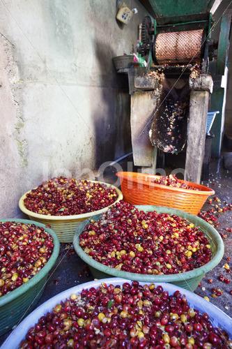 Kaffeeschalen als organischer Dünger (Guatemala, GUAYA'B) - lobOlmo Fair-Trade-Fotoarchiv