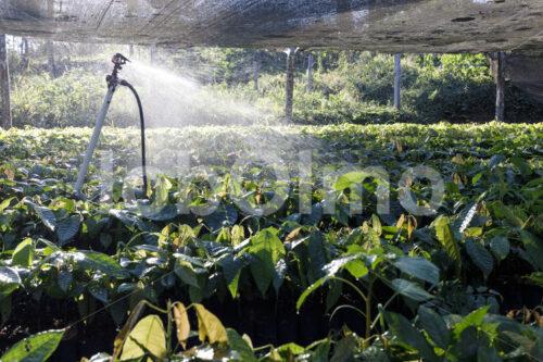 Kakao-Pflanzenschule (Bolivien, EL CEIBO) - lobOlmo Fair-Trade-Fotoarchiv