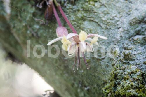Kakaoblüte (Bolivien, EL CEIBO) - lobOlmo Fair-Trade-Fotoarchiv
