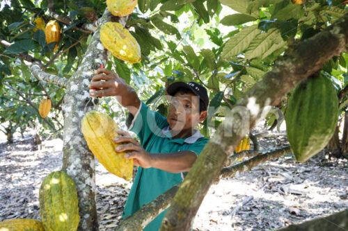 Kakaoernte (Bolivien, EL CEIBO) - lobOlmo Fair-Trade-Fotoarchiv
