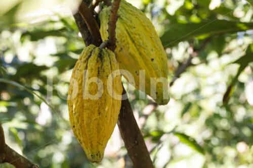 Kakaofrüchte (Bolivien, EL CEIBO) - lobOlmo Fair-Trade-Fotoarchiv