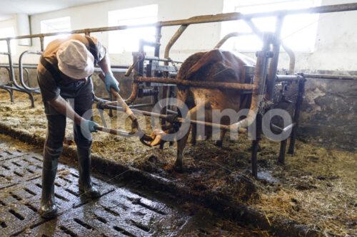 Klauenpflege bei einer Milchkuh (Deutschland, Molkerei BGD) - lobOlmo Fair-Trade-Fotoarchiv