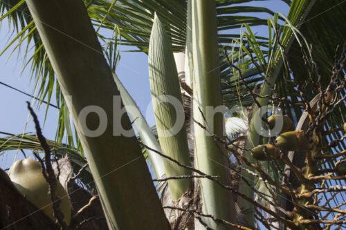 Kokosblüte (Sri Lanka, MOPA/BioFoods) - lobOlmo Fair-Trade-Fotoarchiv