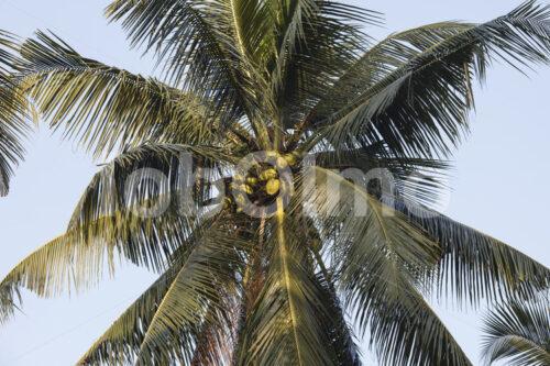 Kokosnüsse (Sri Lanka, MOPA/BioFoods) - lobOlmo Fair-Trade-Fotoarchiv