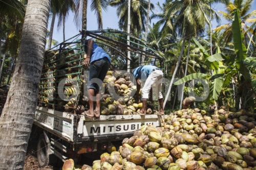 Kokosnussernte (Sri Lanka, MOPA/BioFoods) - lobOlmo Fair-Trade-Fotoarchiv
