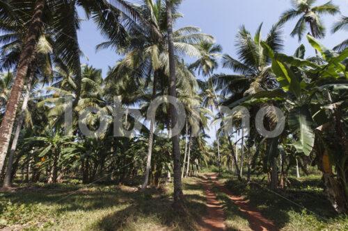 Kokospalmen (Sri Lanka, MOPA/BioFoods) - lobOlmo Fair-Trade-Fotoarchiv
