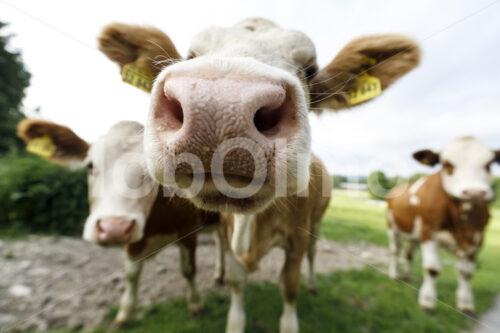 Milchkühe (Deutschland, Molkerei BGD) - lobOlmo Fair-Trade-Fotoarchiv