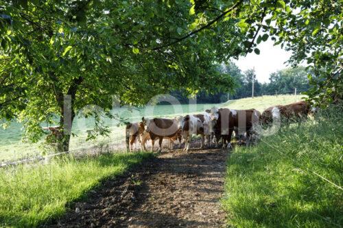 Milchkühe auf der Weide (Deutschland, Molkerei BGD) - lobOlmo Fair-Trade-Fotoarchiv
