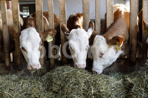 Milchkühe im Stall (Deutschland, Molkerei BGD) - lobOlmo Fair-Trade-Fotoarchiv