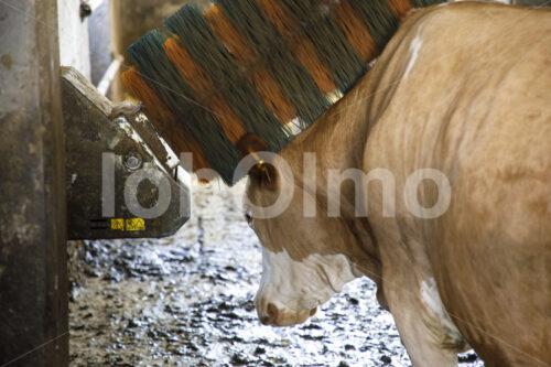 Milchkuh an einer Massagebürste (Deutschland, Molkerei BGD) - lobOlmo Fair-Trade-Fotoarchiv