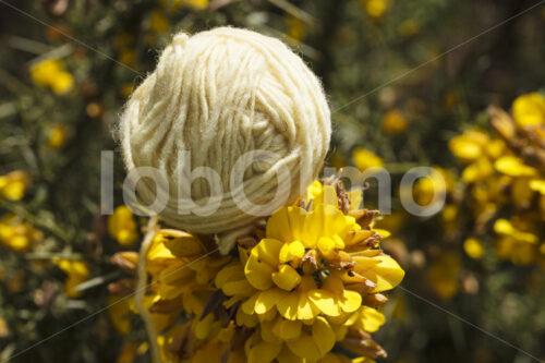 Mit Blüten gefärbte Schafwolle (Chile, Chol-Chol) - lobOlmo Fair-Trade-Fotoarchiv