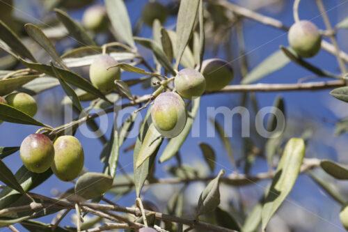 Oliven (Palästina, CANAAN) - lobOlmo Fair-Trade-Fotoarchiv