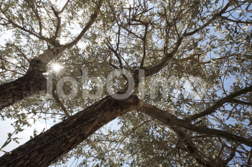 Olivenbäume (Palästina, CANAAN) - lobOlmo Fair-Trade-Fotoarchiv