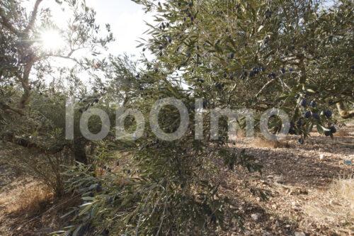 Olivenbaum (Palästina, CANAAN) - lobOlmo Fair-Trade-Fotoarchiv